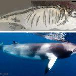 Fossiele walvis en dwergvinvis